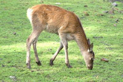 Female of the deer