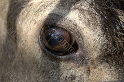 Eyes of the deer
