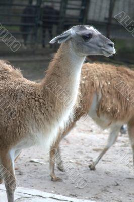 Animal is the lama 4