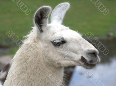 Animal is the lama 3