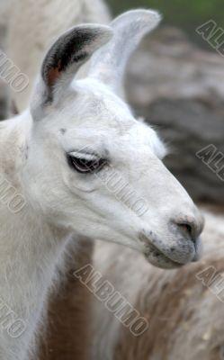 Animal is the lama 2