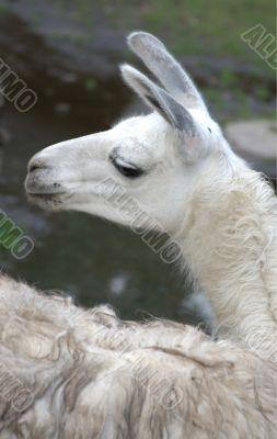 Animal is the lama 1