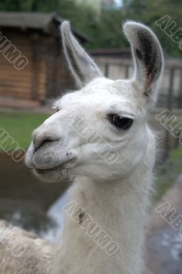 Animal is the lama