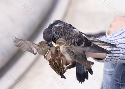 Feeding of birds by bread from hands