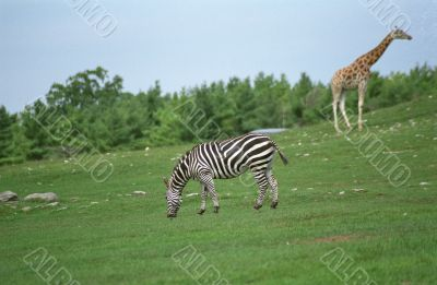 Giraffe and Zebra