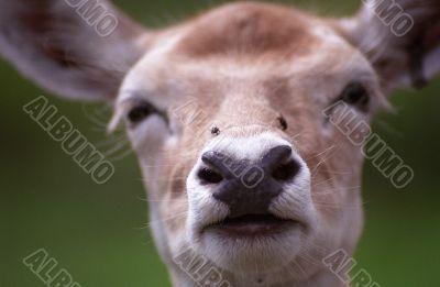 Deer`s Face