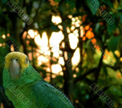Exotic Wild Green Parrot, Mexico