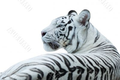 White Bengal tiger, isolated white