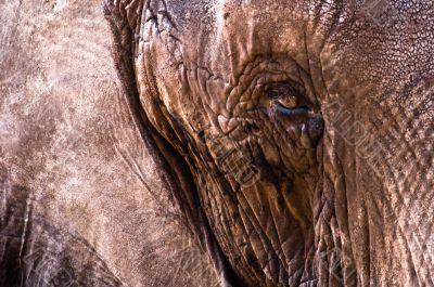 Elephant Leather Skin Close-Up