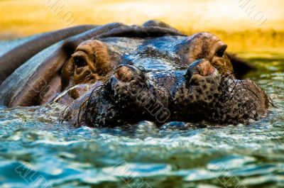 Hippopotomus Swimming in Water