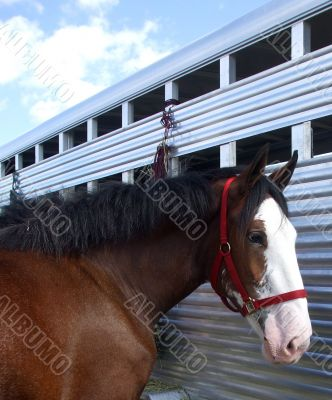 Clydesdale Horse and Trailer
