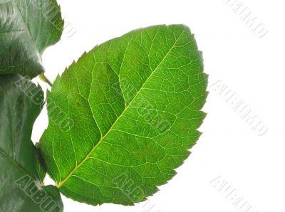 green vivid leaf details on white
