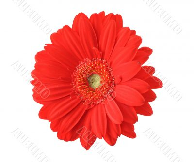 red gerbera isolated on pure white background