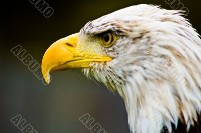 American Eagle  - Bird of Prey