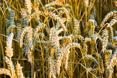 Colden Evening Grain