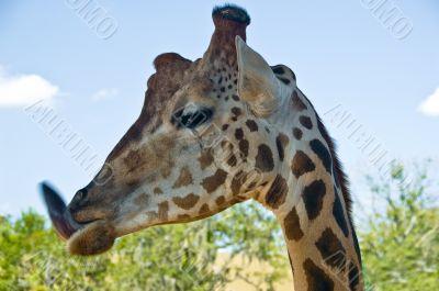 Funny Giraffe - Animal Tongue