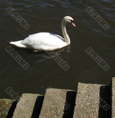 Swan swimming past harbour steps