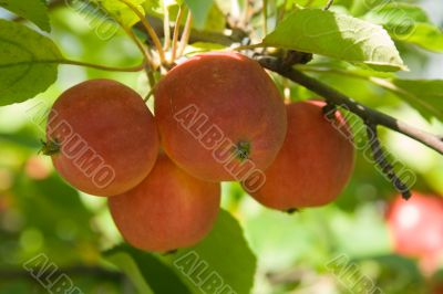 Ripe red apples on a tree