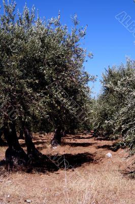 Oil Tree in Sicily at summer