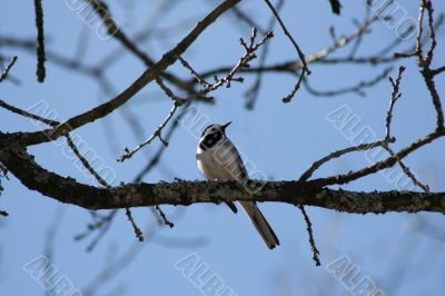 Titmouse bird on leafless tree branch on sky background