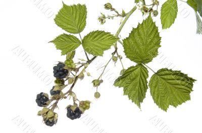 blackberry on white