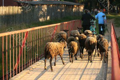 Herd ewes