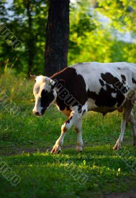 A black-white cow