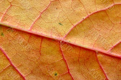 extreme close-up of autumn leaf