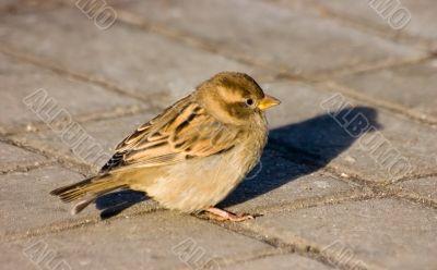 Sparrow on sidewalk
