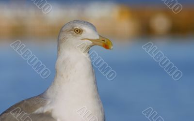 close-up of majestic seagull