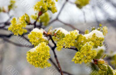 Yellow acacia under a snow