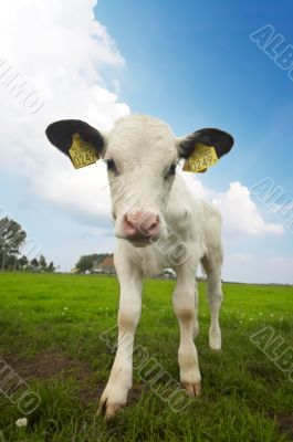 funny picture of a baby cow