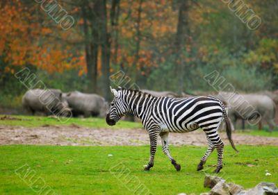 zebra in safari park