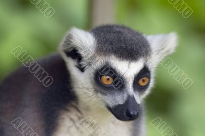 ring-tailed lemur monkey