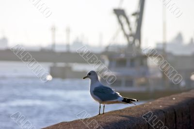 The seagull on a background of a mouth of Neva