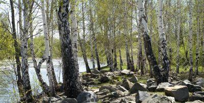 Stone between birches