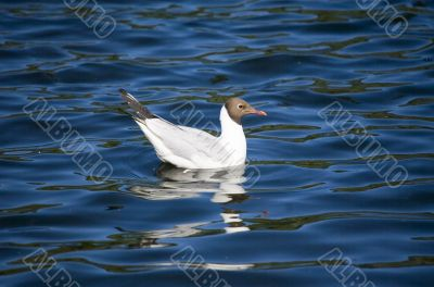 The seagull in azure water