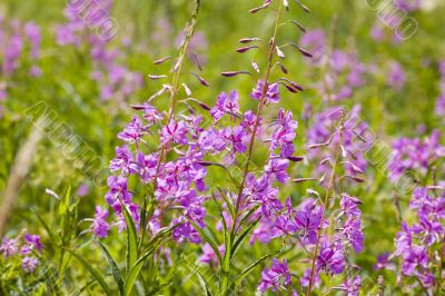 Field of willow-herb