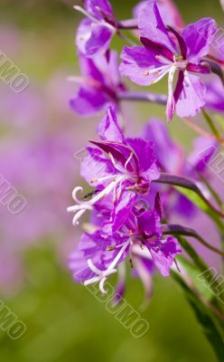 willow-herb close up