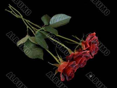 Three Red Roses with Waterdrop