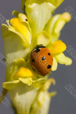 Ladybird on a yellow flower