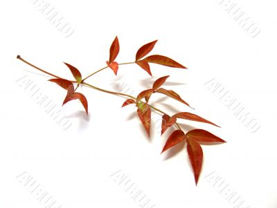 Ornamental Bamboo Autumn Leaves