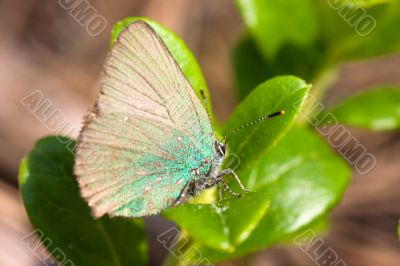 The butterfly on a cowberry