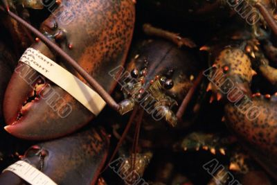 Live lobsters, ready for market