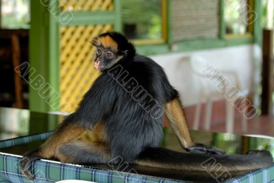 the amazonian rain forest monkey