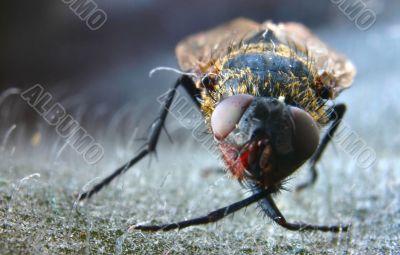 dead fly macro