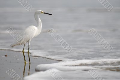 the ecuadorian white heron on pacific ocean