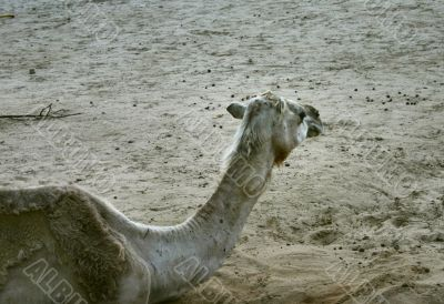 part of camel