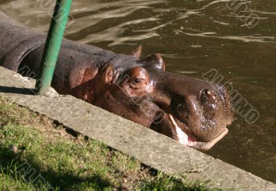 hippos in zoo
