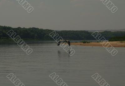 Flight of a heron